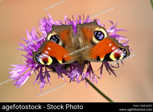 10/17/2020, Schleswig, a peacock butterfly (Aglais io) on a meadow knapweed (Centaurea jacea) on a sunny autumn day. The beautiful butterfly can no longer find...