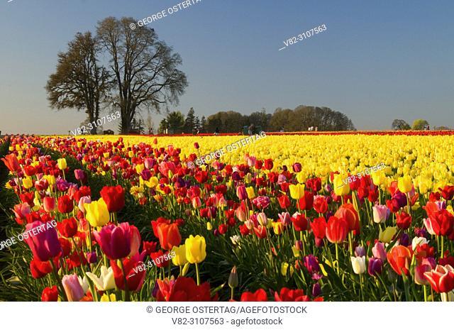 Tulip field with oak grove, Wooden Shoe Bulb Co. , Clackamas County, Oregon