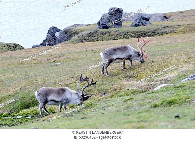 Two male Svalbard Reindeer (Rangifer tarandus platyrhynchus) in different stages of velvet