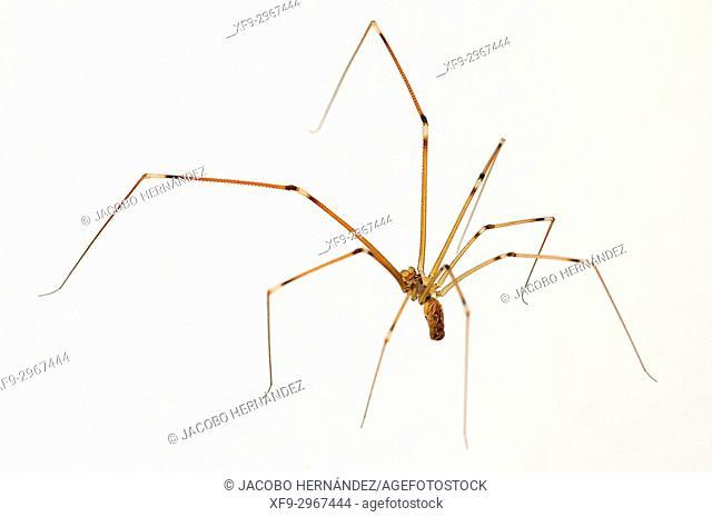 Spider ( Physocyclus globosus) Badajoz province. Extremadura. Spain