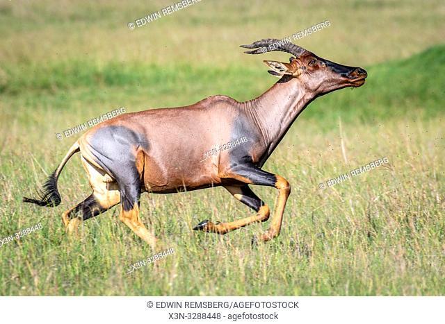 Topi (Damaliscus lunatus jimela) subspecies of the common tsessebe runs through a field in Maasai Mara National Reserve, Kenya