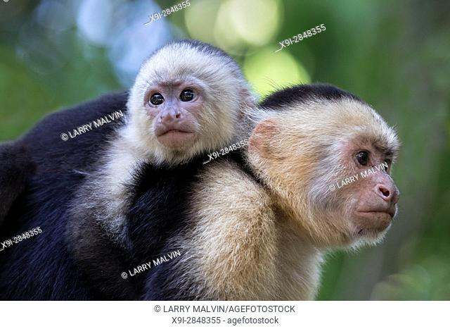 White-faced capuchin monkey with baby on her back in the trees of Manuel Antonio National Park in Costa Rica
