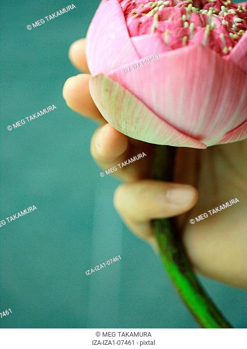 Close-up of a person's hands holding a lotus flower