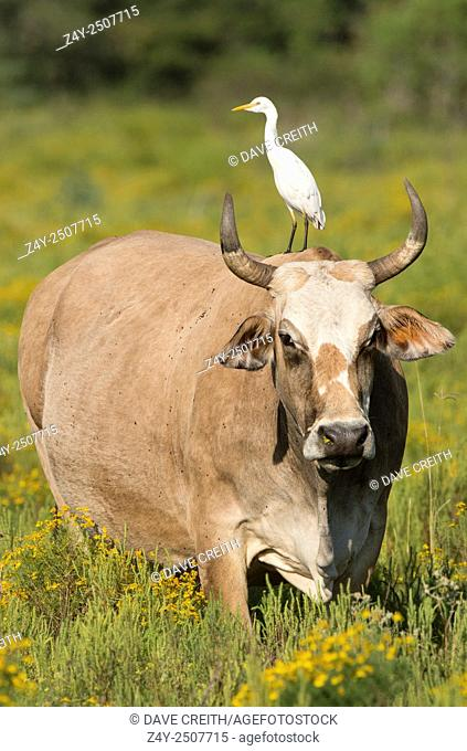 Cattle Egret (Bubulcus ibis) on a cow's back , Texas