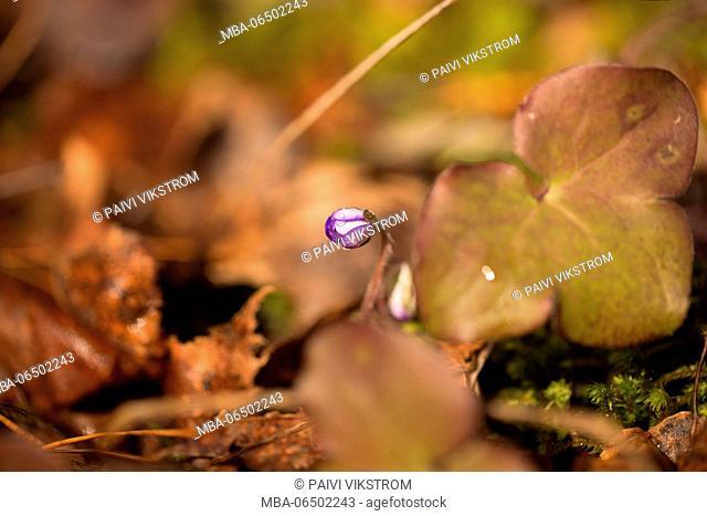 Liverwort, Hepatica nobelis bathing in sunlight