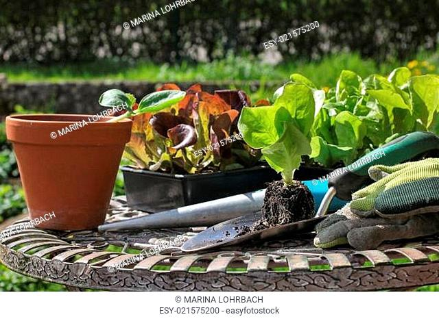 Setzlinge für den Garten, seedlings