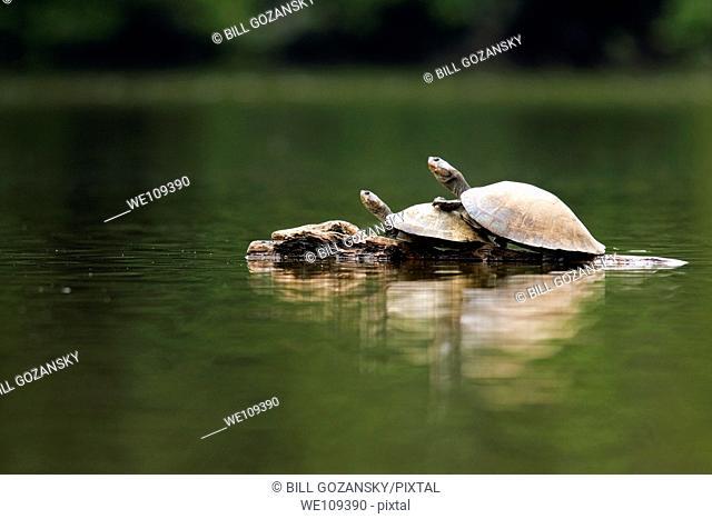 River Turtles - La Selva Jungle Lodge, Amazon Region, Ecuador