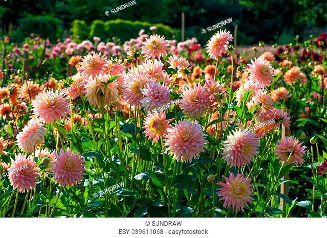 Buga Munchen. Aster flowers