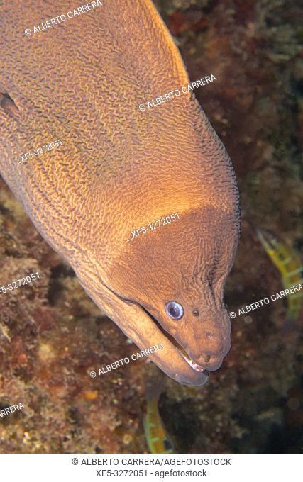 Moray Eel, Muraena helena, Cabo Cope-Puntas del Calnegre Natural Park, Mediterranean Sea, Region de Murcia, Murcia, Spain, Europe