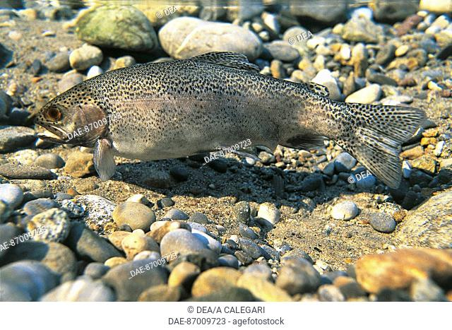 Brown Trout (Salmo trutta), Salmonidae
