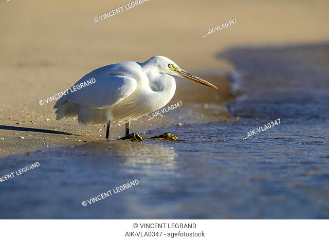 White morph Western Reef Egret (Egretta gularis schistacea) fishing on Red Sea shore, Egypt. With bend legs on the beach with seawater coming over the feet