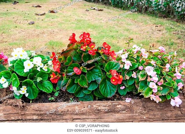 Begonia flower in a wooden log