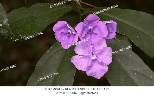 Flowers of Brunfelsia grandiflora, a medicinal plant native to the forests of northern South America. This plant is a member of the nightshade family