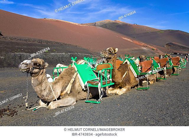 Resting Dromedaries (Camelus dromedarius) in the Timanfaya National Park, Lanzarote, Canary Islands, Spain