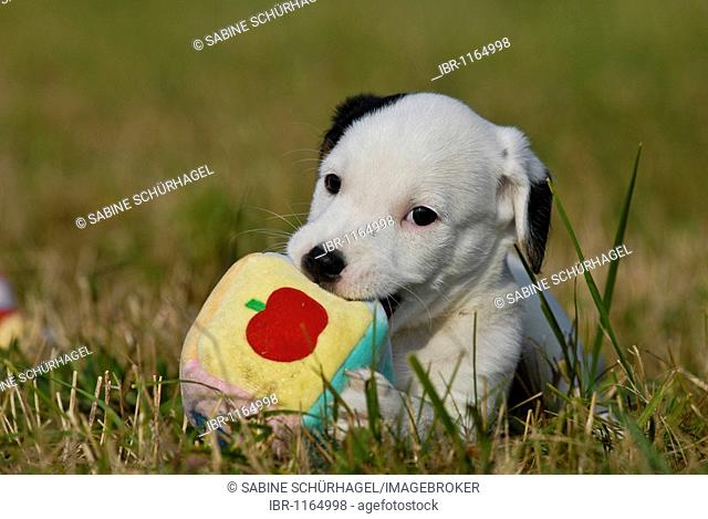 Puppy parson jack russell terrier Stock Photos and Images
