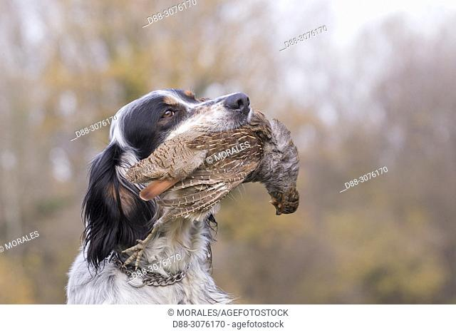 France, Bas Rhin, English Setter dog breed with a grey partridge (Perdix perdix)