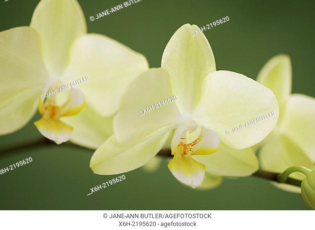 the exotic yellow phalaenopsis orchid, bright and cheerful beauty