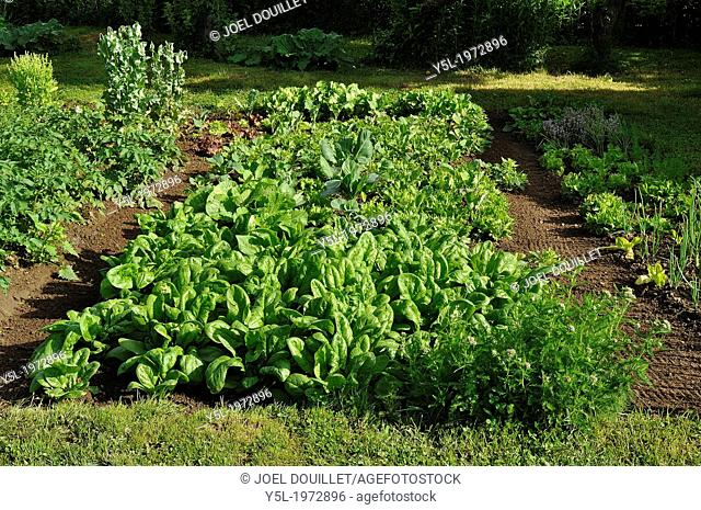 Mixed bed of spinachs (Spinacia oleracea), variety : 'Matador', and some chinese cabbage, lettuce Batavia 'Reine des glaces' and cabbages 'Cabbage of Milan'