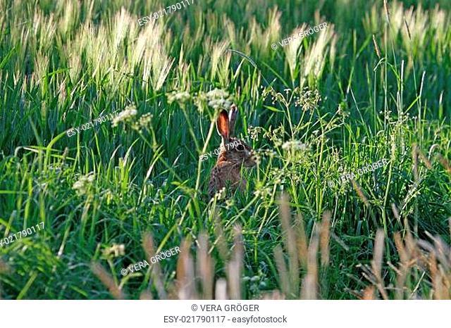 Feldhase beobachtet gut versteckt im Getreidefeld die Umgebung