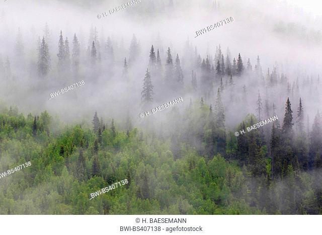mist in mountain forest, Norway, Nordland, Dunderland