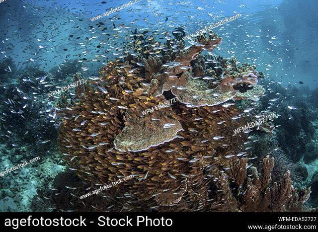 Coralfish schooling around Corals, Parapriacanthus ransonneti, Raja Ampat, West Papua, Indonesia