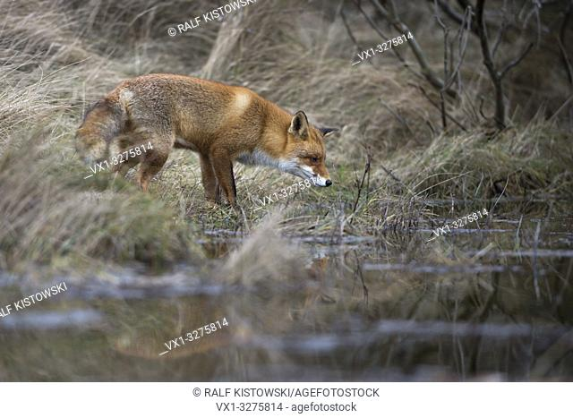 Red Fox ( Vulpes vulpes ) adult , in typical surrounding, hunting at a body of water, small lake in the woods, mirroring, wildlife, Europe