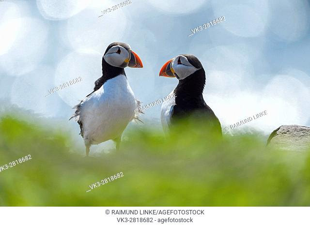 Atlantic Puffin, Fratercula arctica, Two Birds, Lens Flare, Europe
