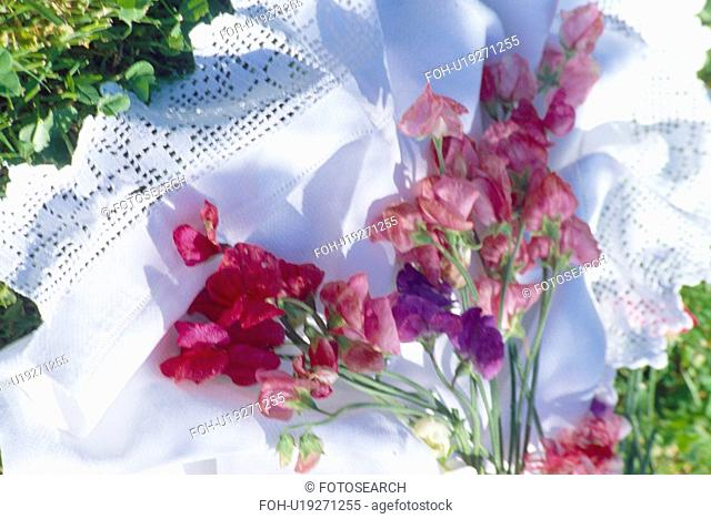 Still-life of purple sweet peas on lace-edged white cloth