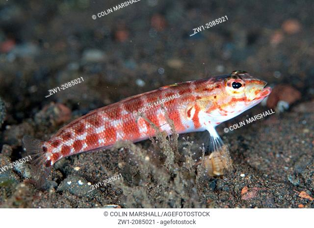 Red-spotted Sandperch (Parapercis schauinslandi) on sand at Seraya in Bali in Indonesia