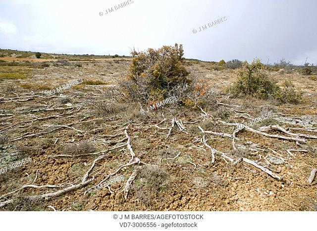 Cade juniper or prickly juniper (Juniperus oxycedrus microcarpa) is a shrub or small tree native to Mediterranean basin. This photo was taken in Paramera de...