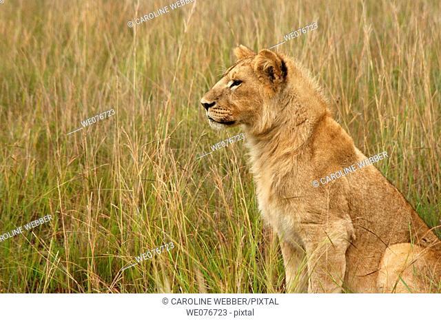 Lion watching prey