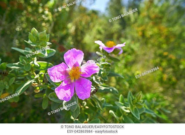 Wild pink flowers from Montgo mountain in Mediterranean spain of Alicante