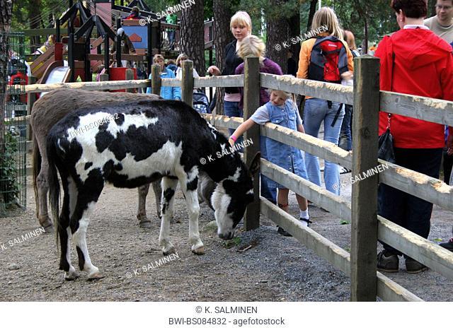 domestic horse (Equus przewalskii f. caballus), children in petting zoo, Finland