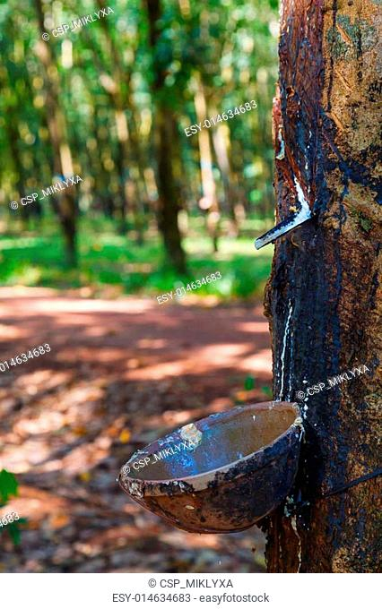 plantations of rubber trees