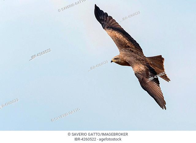 Black Kite (Milvus migrans), adult in flight, Basilicata, Italy