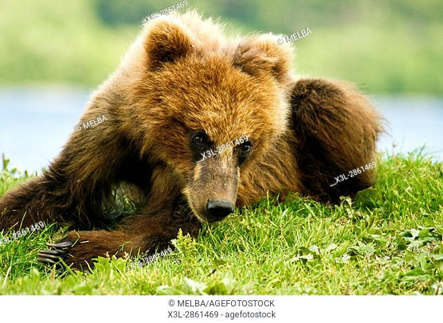 Brown Bear cub (Ursus arctos) in Kurile Lake, Kamchatka Peninsula, Russia