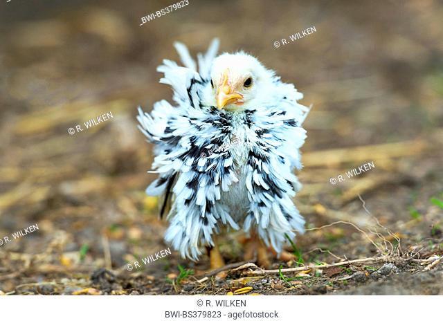 bantam (Gallus gallus f. domestica), curled chabo standing on the ground, Germany, North Rhine-Westphalia