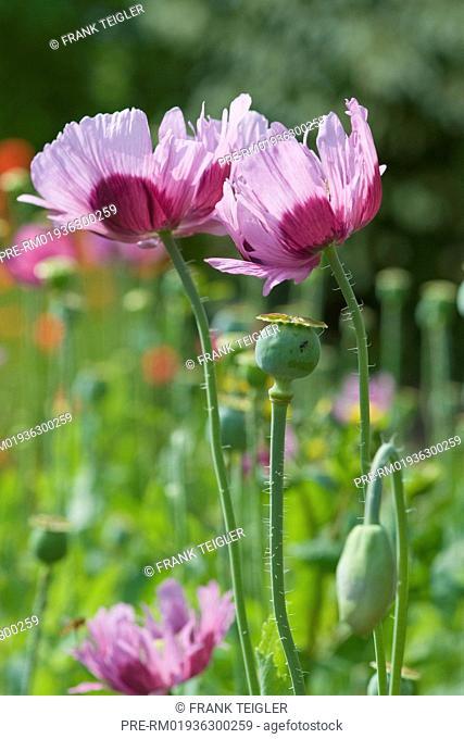 Opium poppy, Papaver somniferum / Schlafmohn, Papaver somniferum