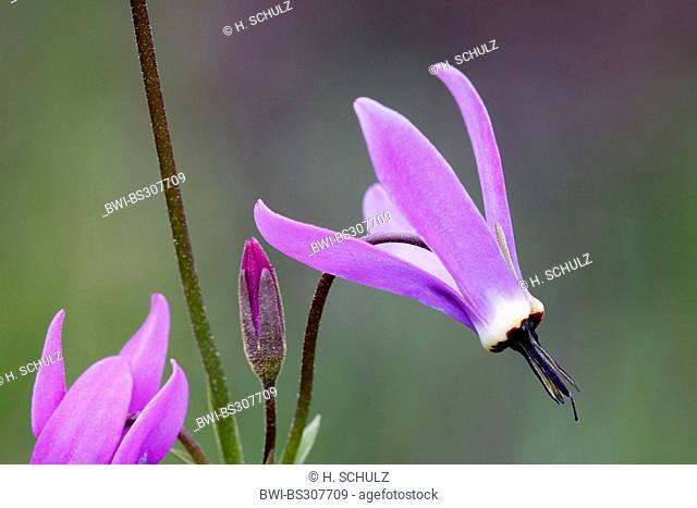 Northern Shooting Star (Dodecatheon frigidum), flower, USA, Alaska