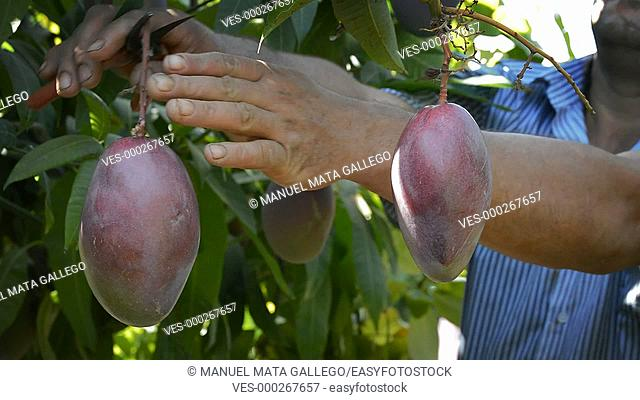 Collecting mangos