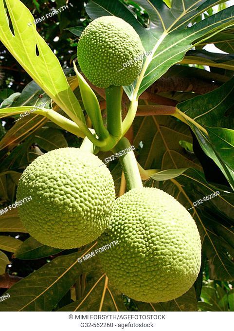 'Ulu/ Breadfruit, a food staple, Hawai'i and Polynesia