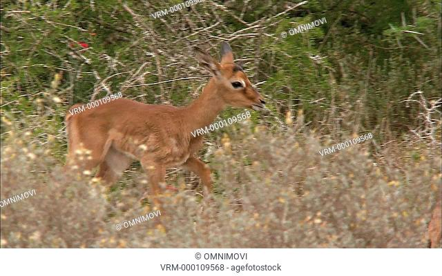 TS WS Baby Impala following a mature Impala Aepyceros melampus / South Africa