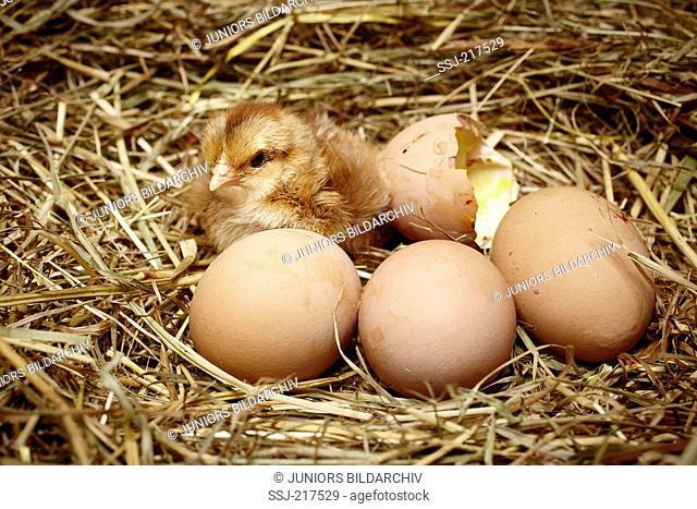 Welsummer Chicken. A recently hatched chicken next to eggs in nest. Germany