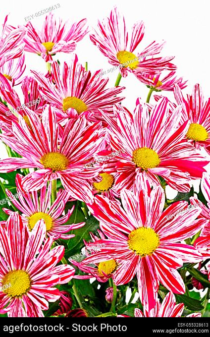 Flower pink chrysanthemums on isolated white background