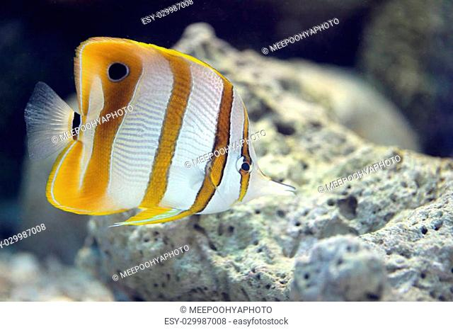 Focus the Butterfly Fish in Sea coral reef area