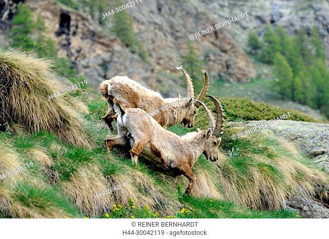 Capricorn, mountain goat, cloven-hoofed animal, ruminant, horn-rimmed bearer, Bovidae, Boviden, goats, goat-like, Capra ibex, mountains, horns, horns, animals