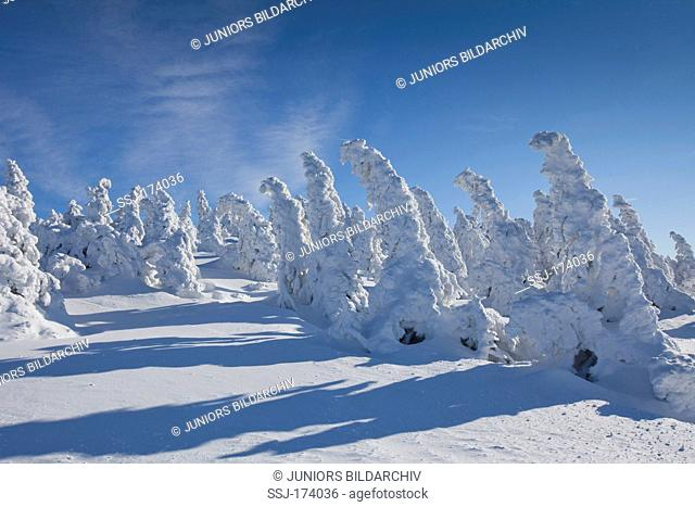 Snow covered Norway Spruces (Picea abies) on the summit of the peak Brocken. Saxony-Anhalt, Harz, Germany