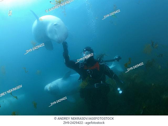 Beluga whale or white whale (Delphinapterus leucas) Sea of Japan, Russky Island, Far East, Primorye, Primorsky Krai, Russia