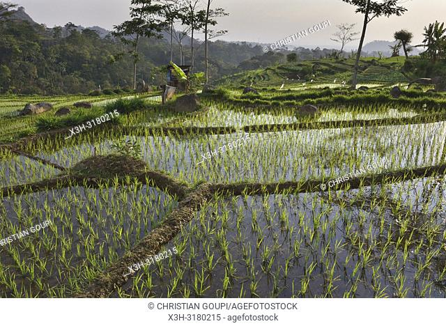 paddy fields in Tawangmangu area, Karanganyar district, near Surakarta (Solo), Java island, Indonesia, Southeast Asia