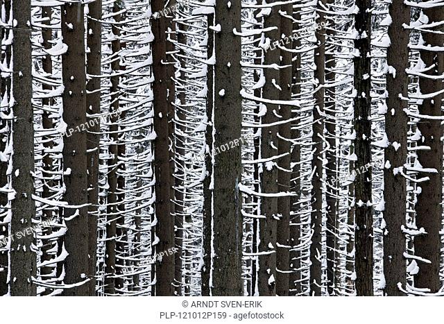 Norway spruce trees Picea abies in the snow in winter in coniferous forest, Harz National Park, Germany